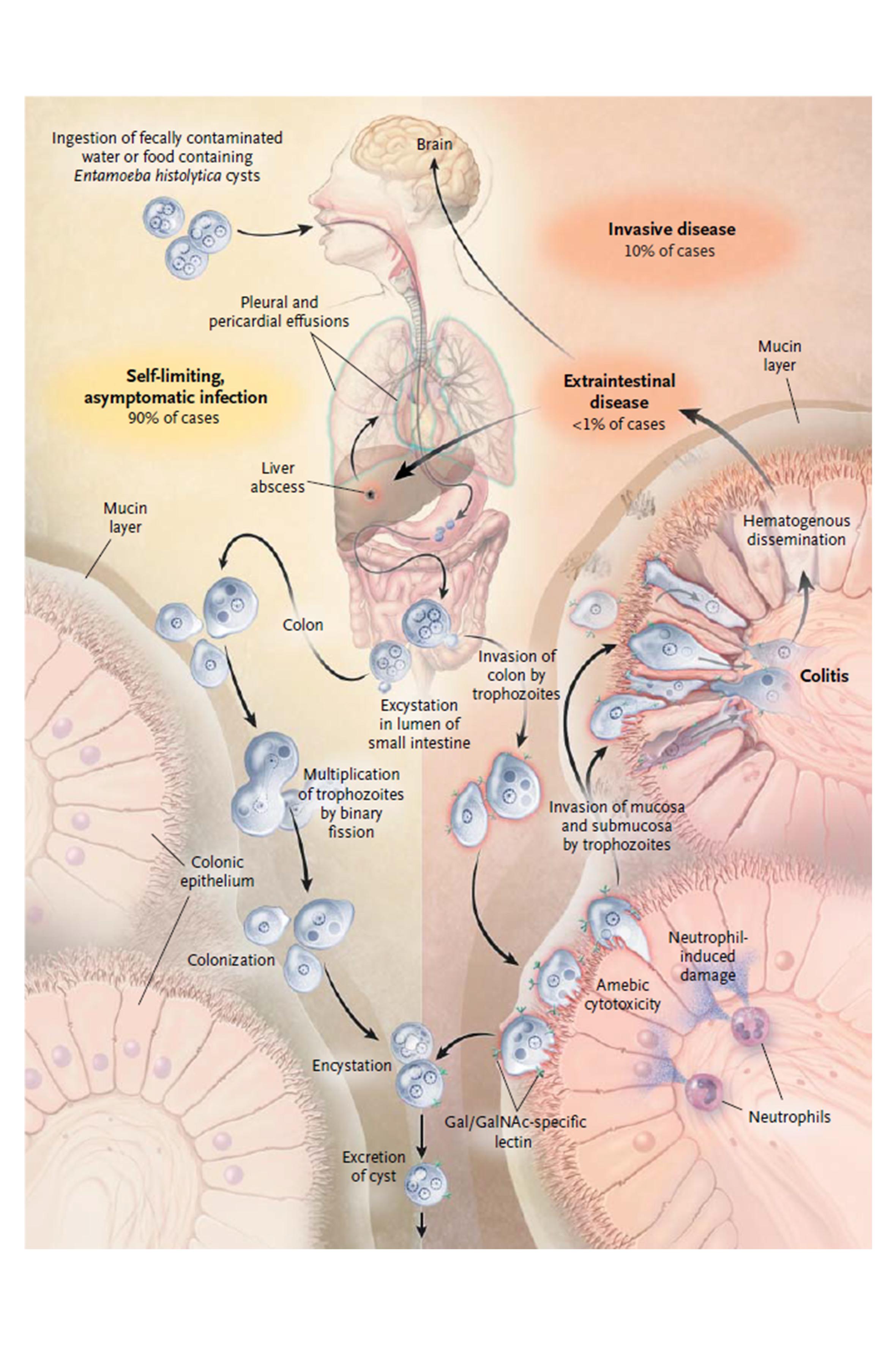 Entamoeba histolytica | Global Water Pathogen Project