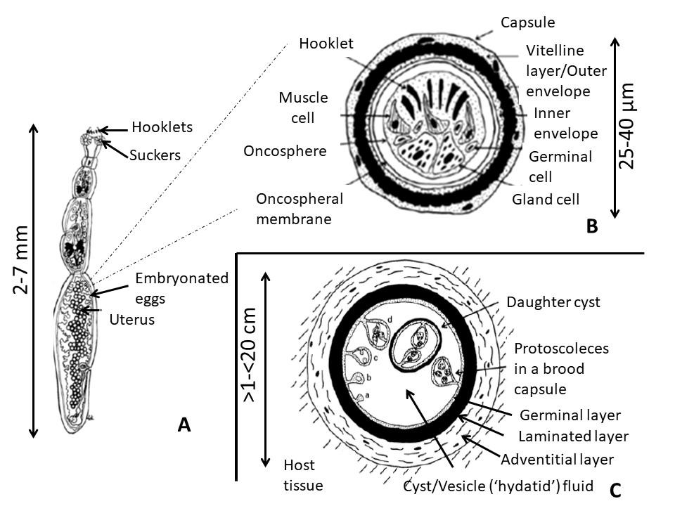 Echinococcus Egg