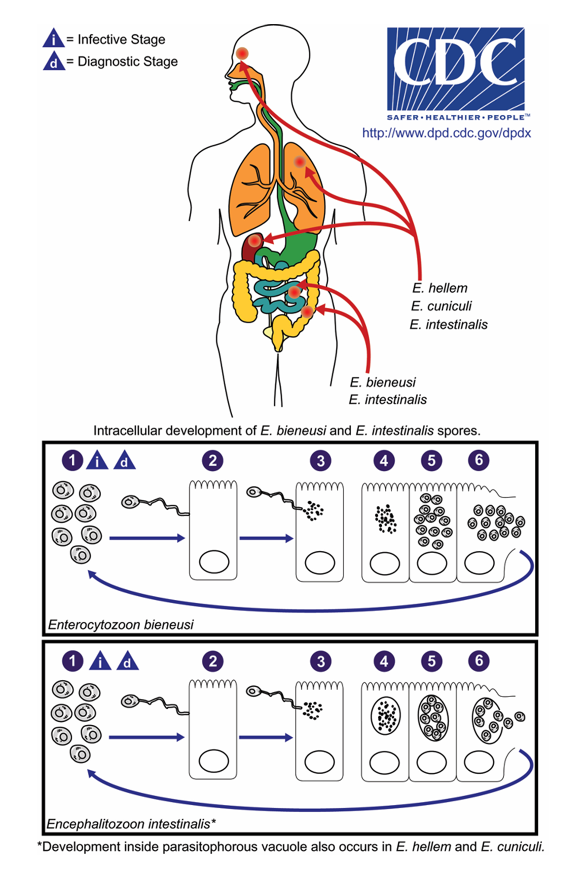 Microsporia in humans. Treatment of microsporia in humans 98