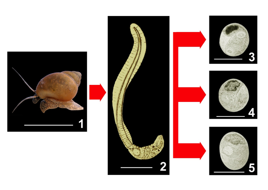 The Liver Flukes: Clonorchis sinensis, Opisthorchis spp, and